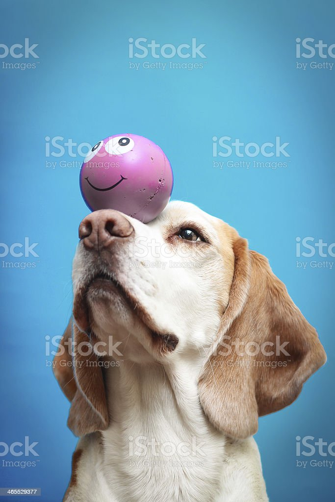 Beagle dog with a ball on nose stock photo
