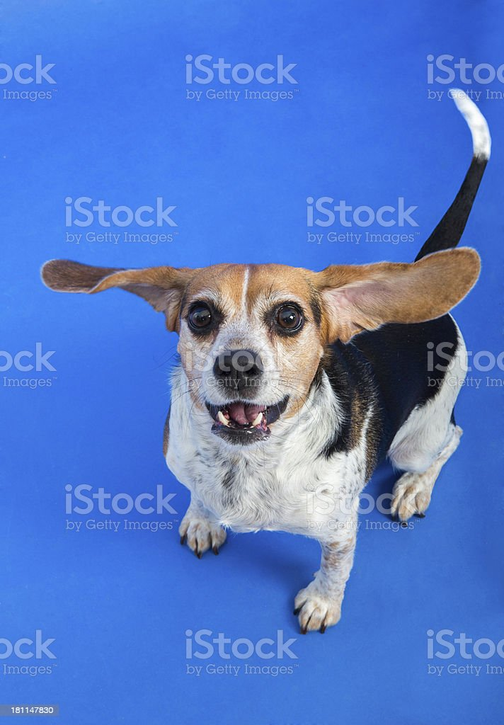 Beagle Dog with flying ears royalty-free stock photo