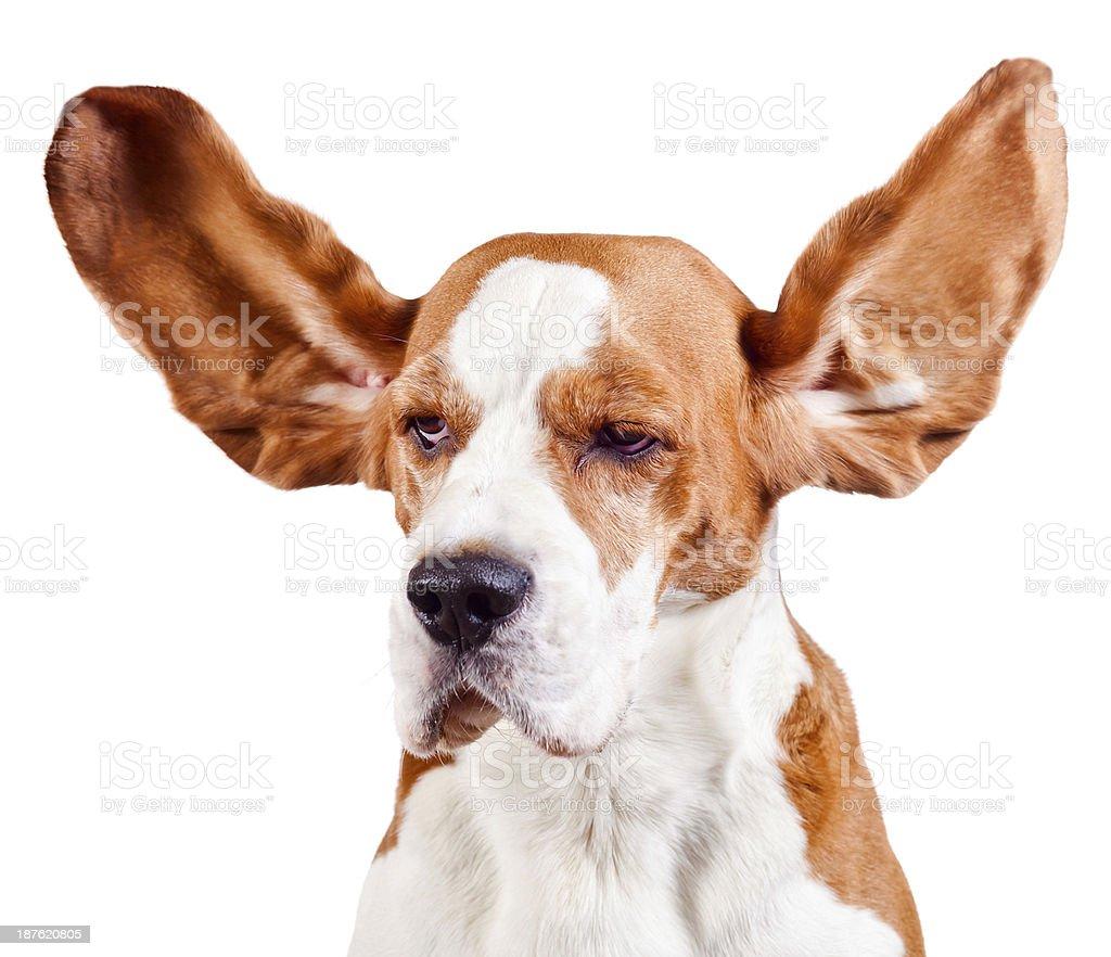 beagle head  on white stock photo