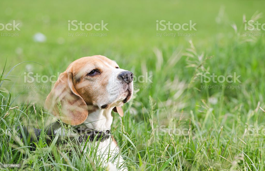 Beagle hiding in the grass while hunting. stock photo