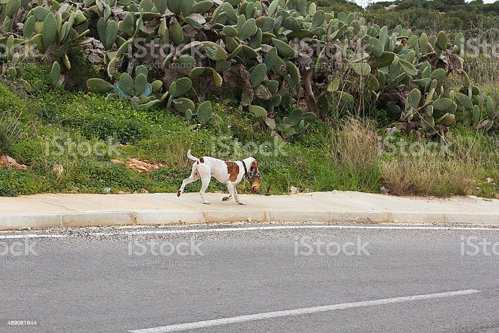 Beagle Cane da caccia foto stock royalty-free