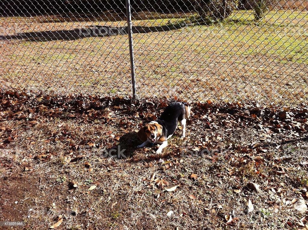 Beagle in park stock photo