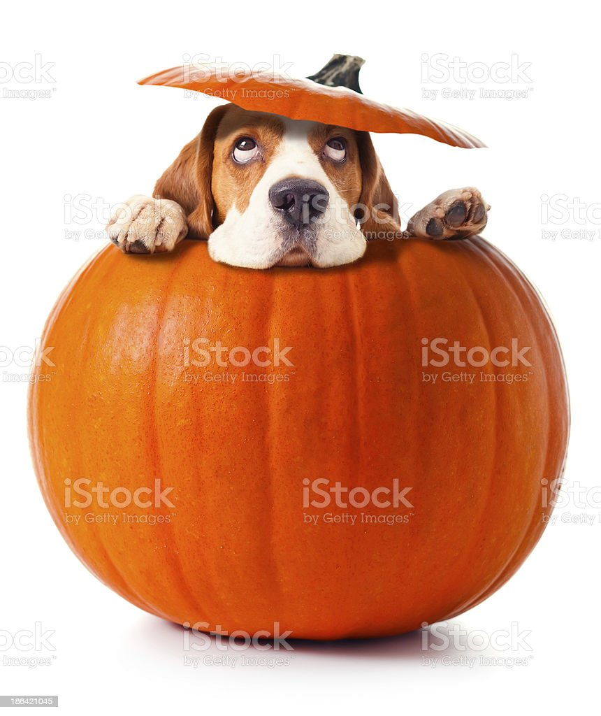 beagle in pumpkin stock photo