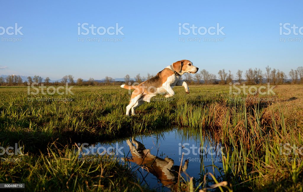 Beagle jump over puddle stock photo