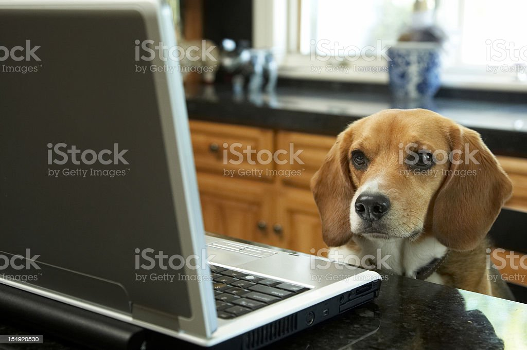 Beagle looking at the laptop royalty-free stock photo