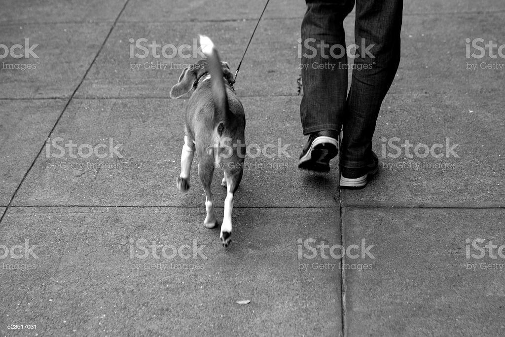 Beagle on a sidewalk stock photo