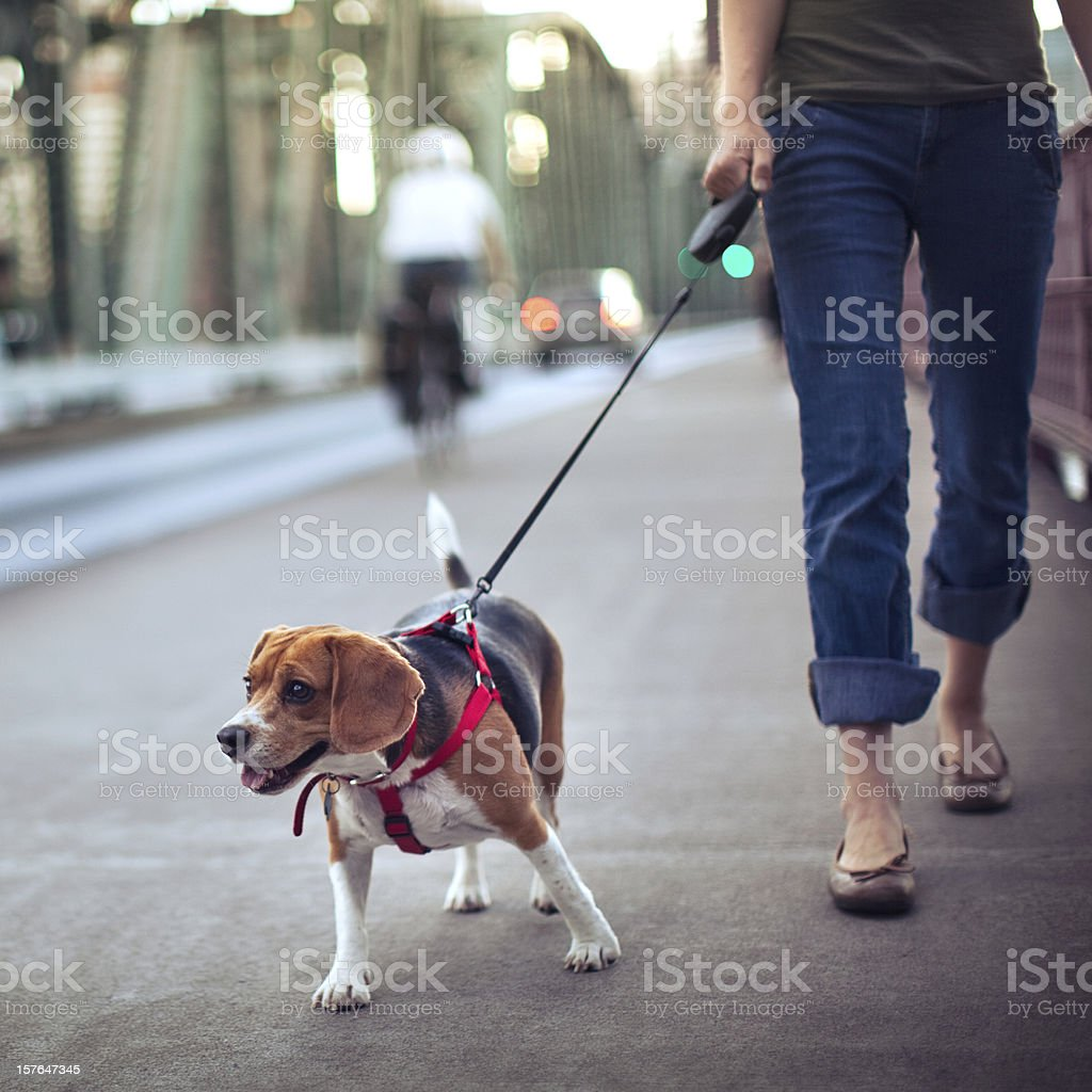 Beagle on a Walk stock photo