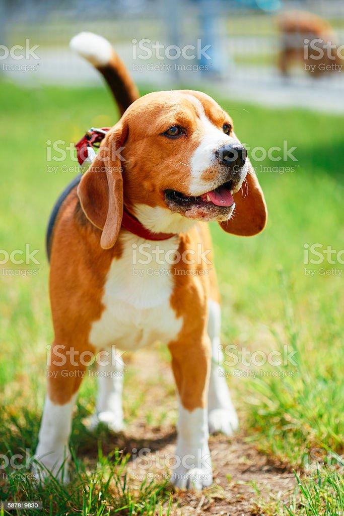 Beagle On Meadow - Pedigree Dog stock photo