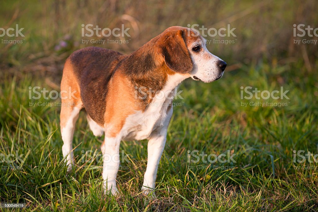 Beagle on meadow, pedigree dog standing on lawn in grass stock photo