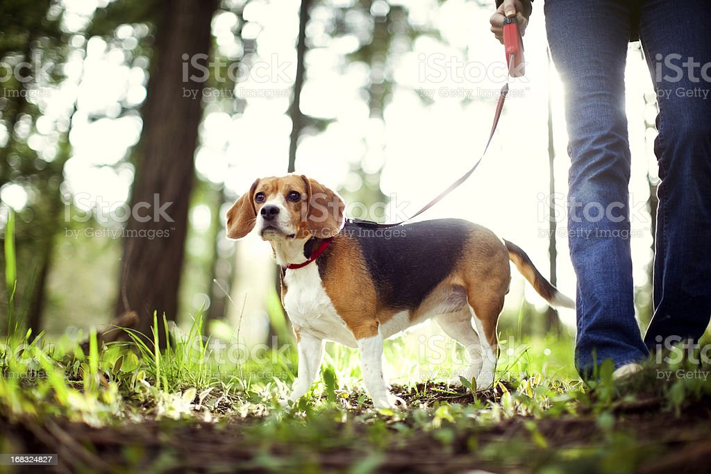 Beagle On Walk in Forest Park stock photo