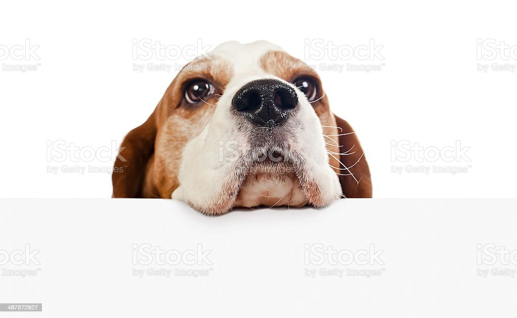 beagle on white background stock photo