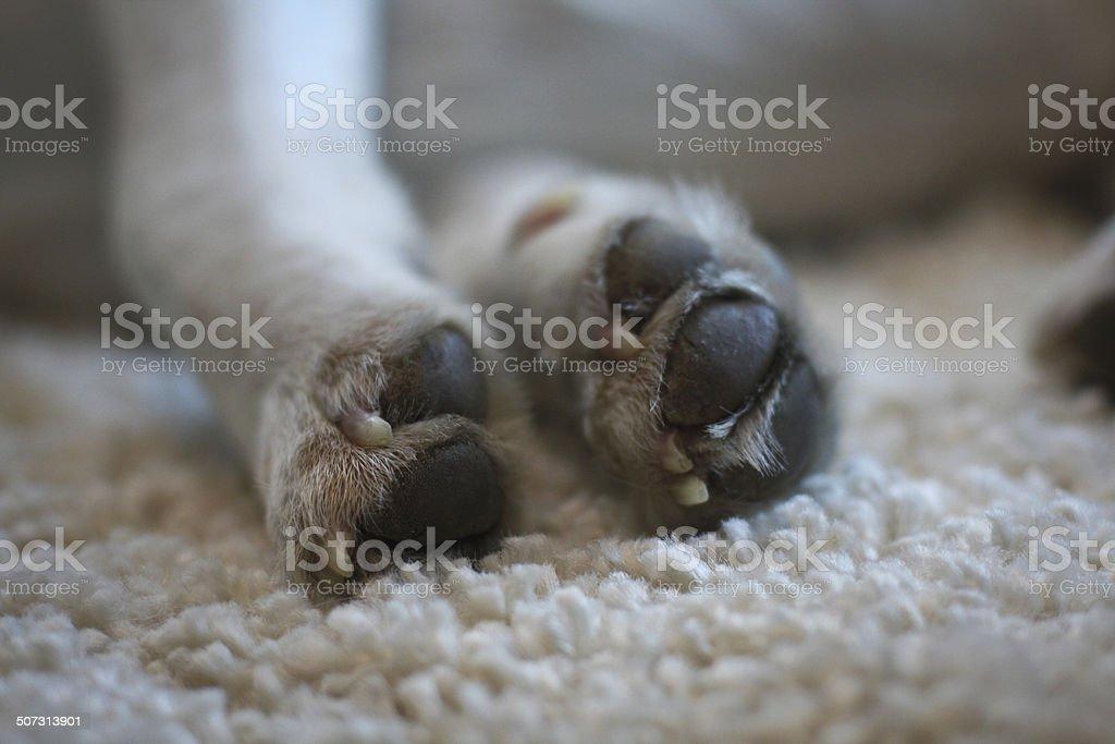 Beagle paws royalty-free stock photo