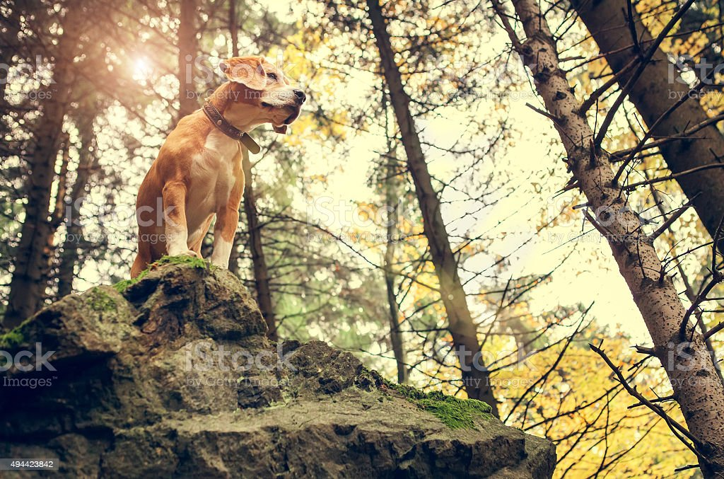 Beagle portrait in autumn forest stock photo