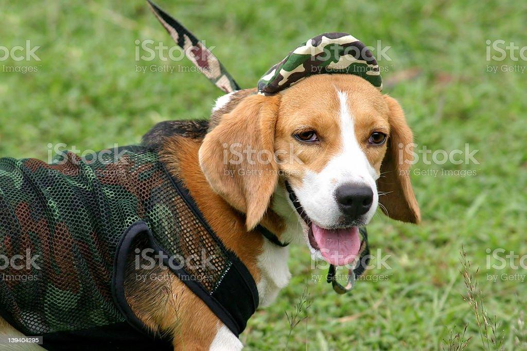 Beagle portrait royalty-free stock photo