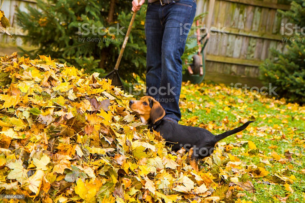 Beagle Pup Playing In the Laves His Owner is Raking stock photo