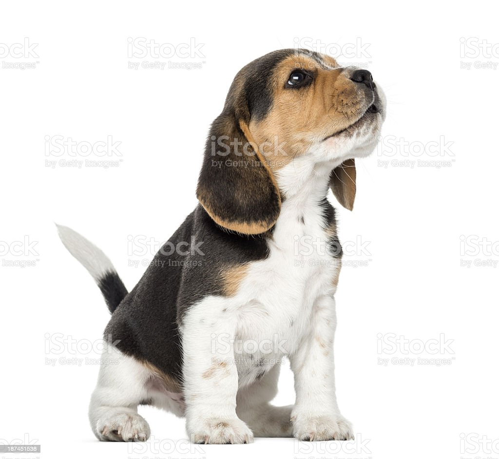 Beagle puppy howling, looking up, isolated on white stock photo