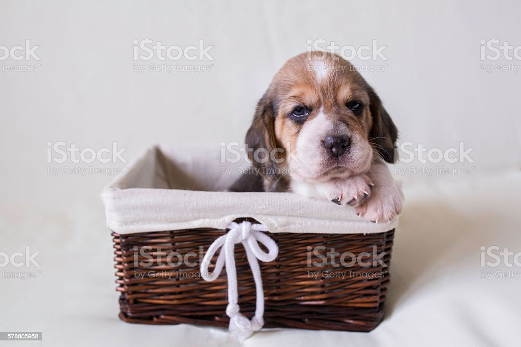 Beagle puppy in a basket . stock photo
