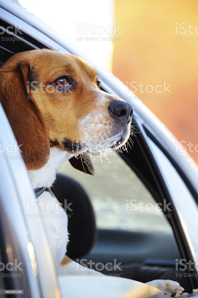 Beagle puppy in car window royalty-free stock photo