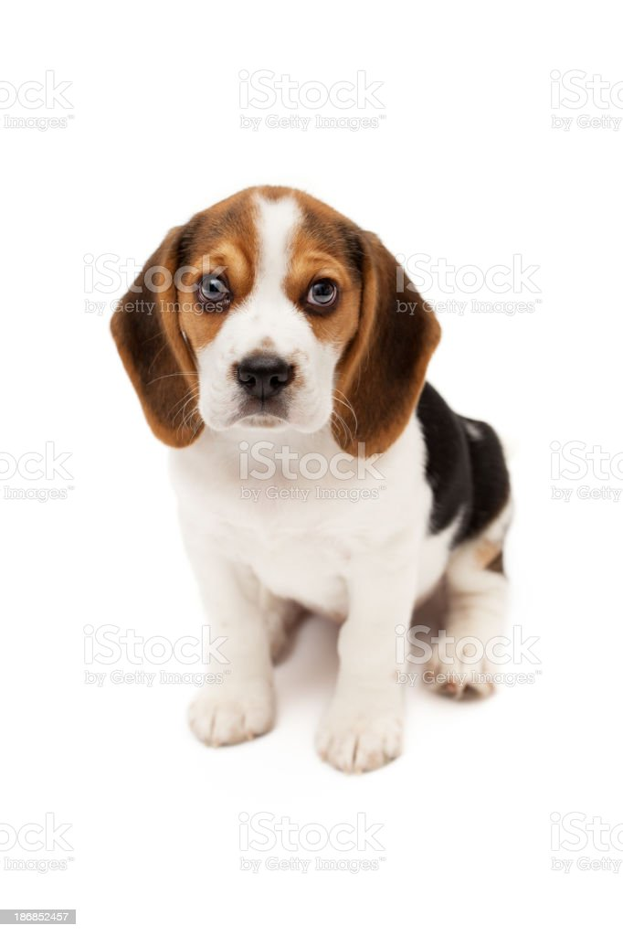 Beagle puppy isolated on white background stock photo