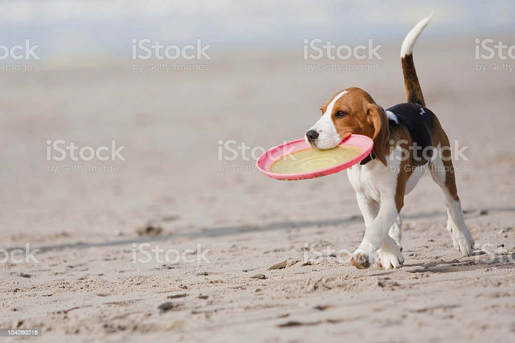 Beagle puppy playing with a Frisbee on the beach stock photo