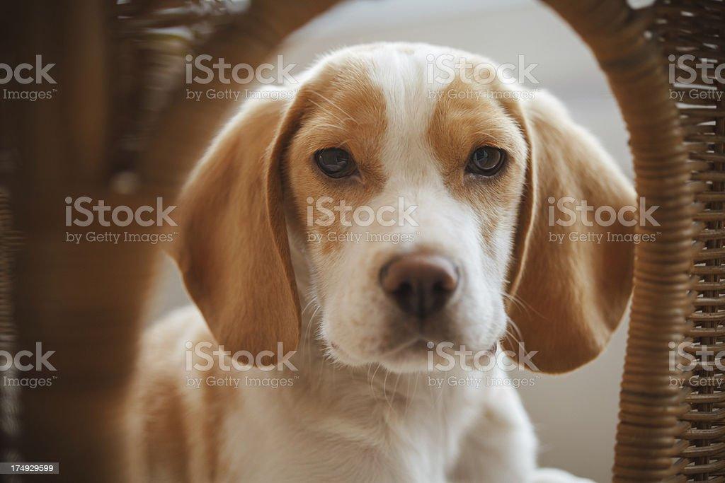 Beagle puppy portrait royalty-free stock photo
