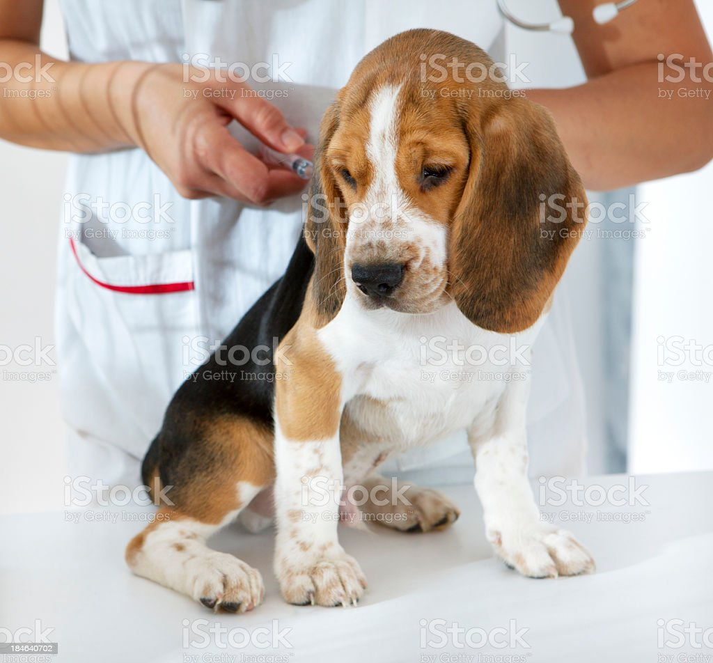 Beagle Puppy Receiving Vaccine at doctor's office royalty-free stock photo
