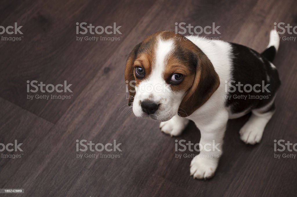 Beagle puppy sitting on a dark wooden floor stock photo