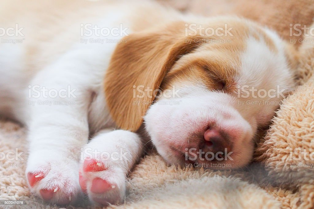 Beagle puppy sleep stock photo