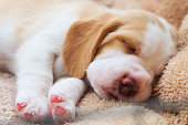 Beagle puppy sleep