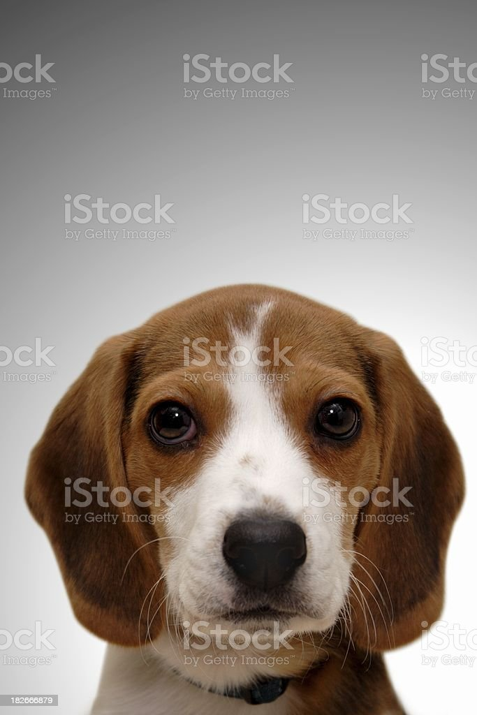 Beagle Puppy Vertical royalty-free stock photo