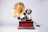 Beagle puppy with gramaphone