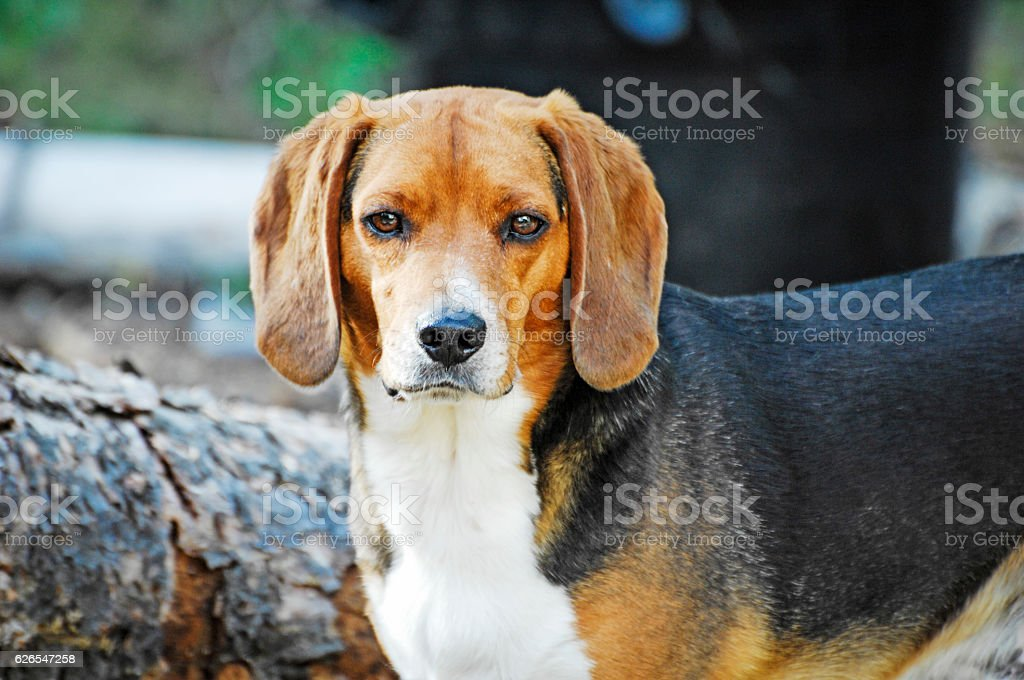Beagle relecting stock photo