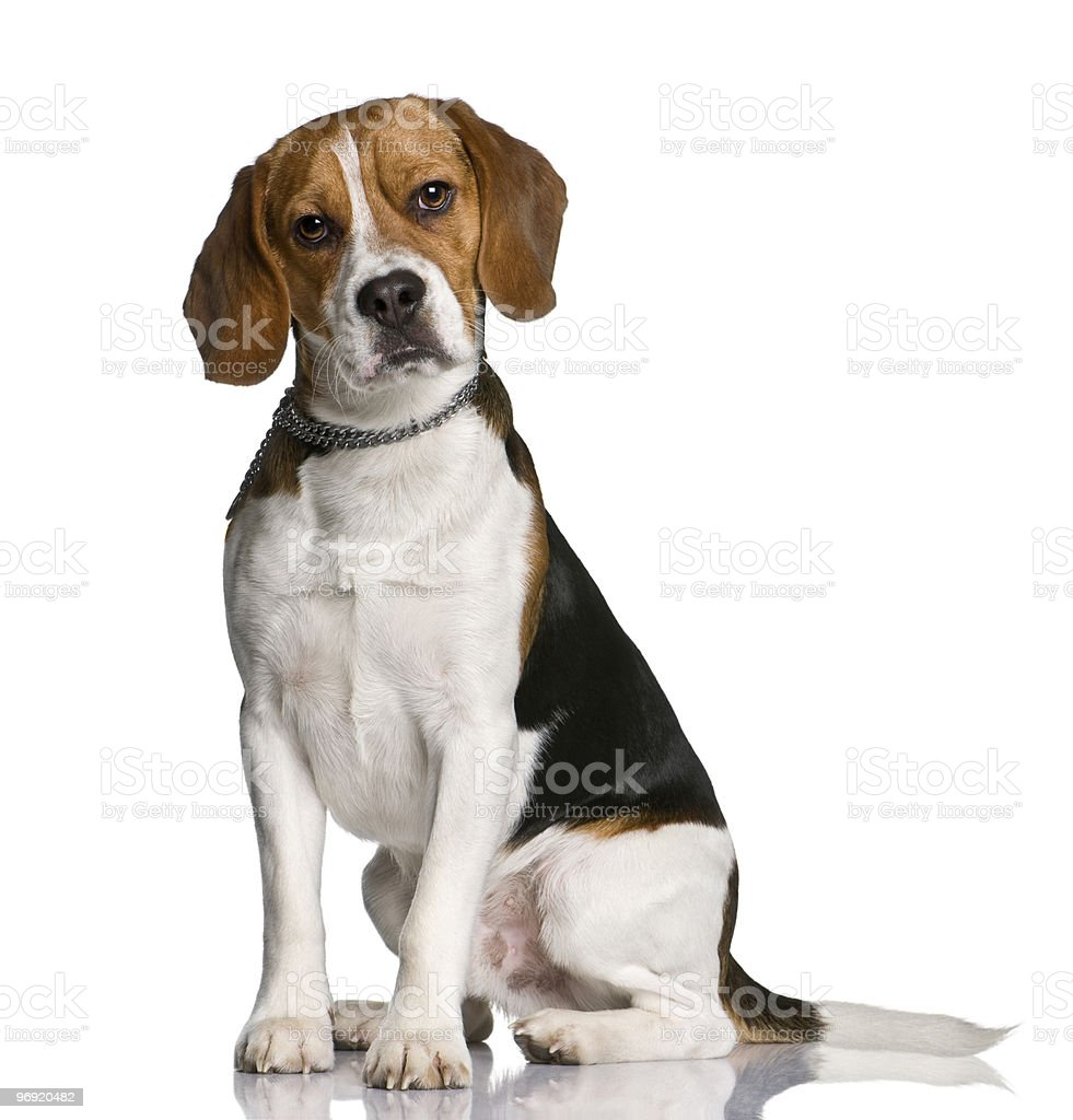 Beagle, sitting and looking at the camera stock photo
