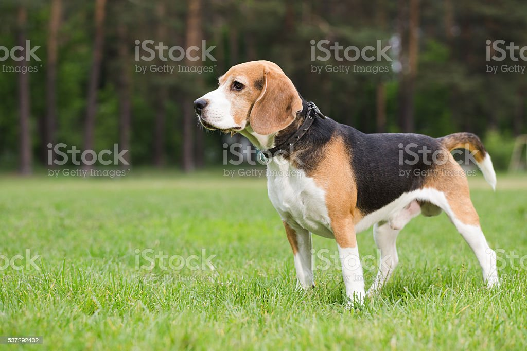 Beagle standing in a field. stock photo