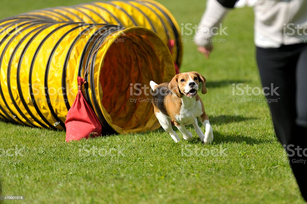Beagle tunnel exit stock photo