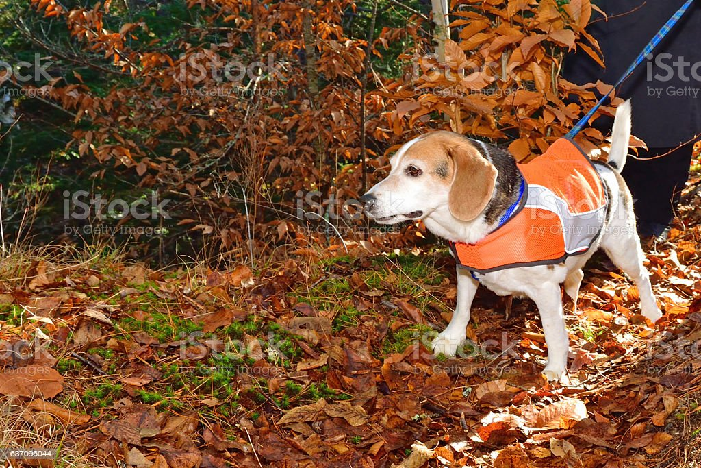 Beagle Wearing a Safety Vest stock photo