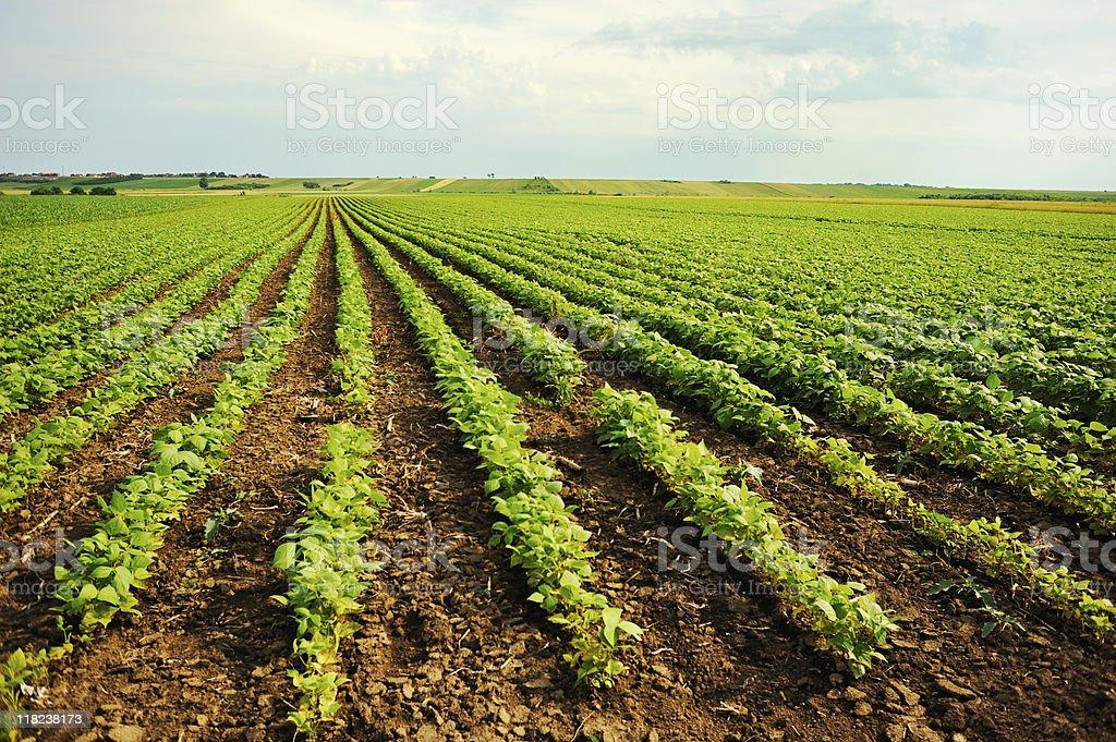 bean field royalty-free stock photo