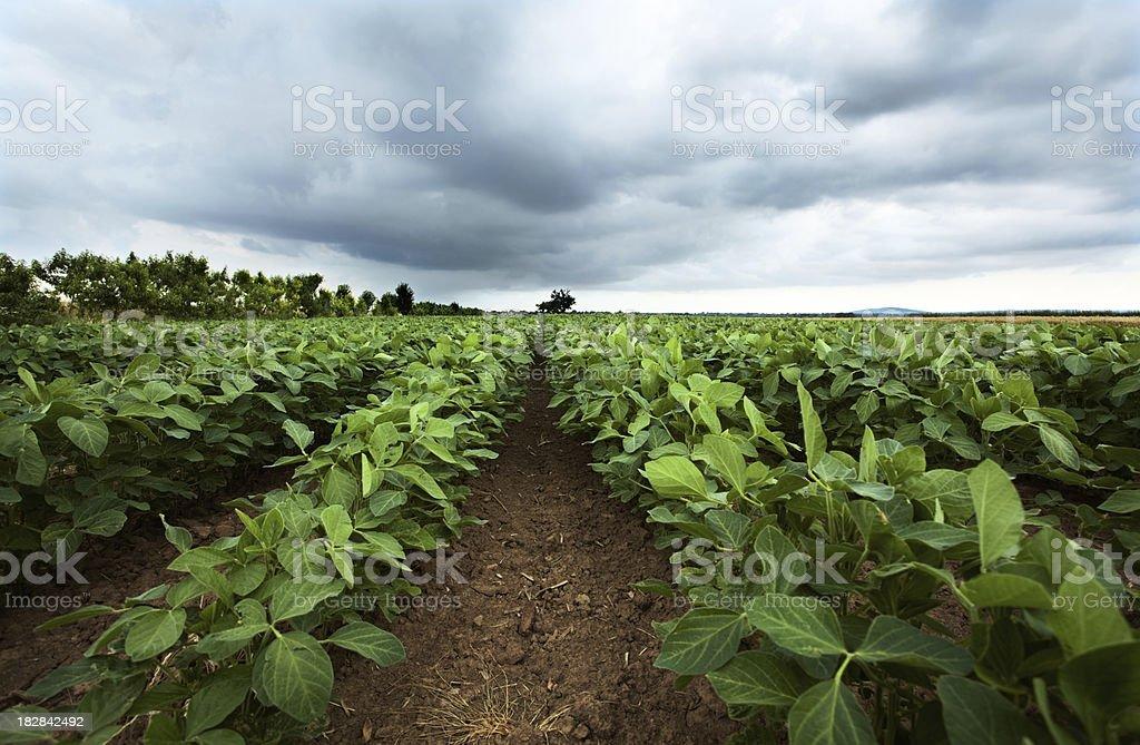 bean field stock photo