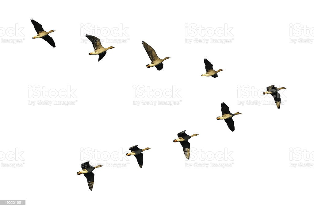 Bean geese in flight stock photo