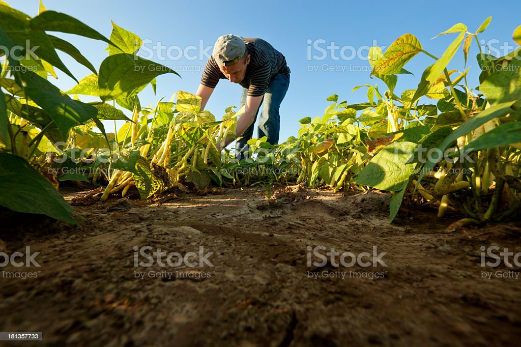 Bean harvest stock photo