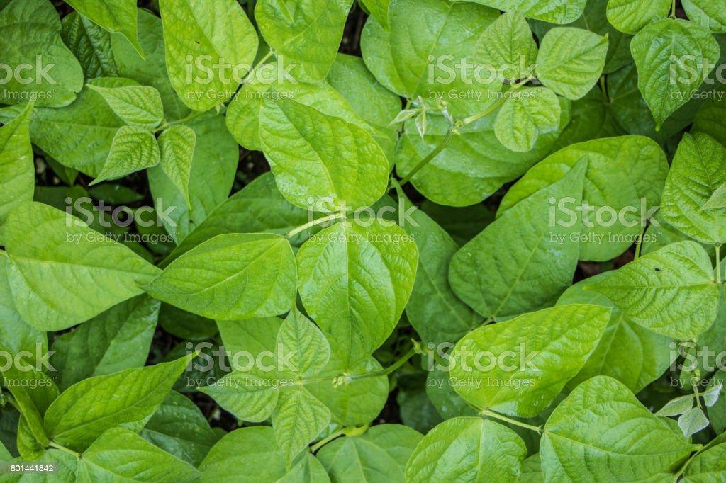 Bean Plant Garden Texture stock photo