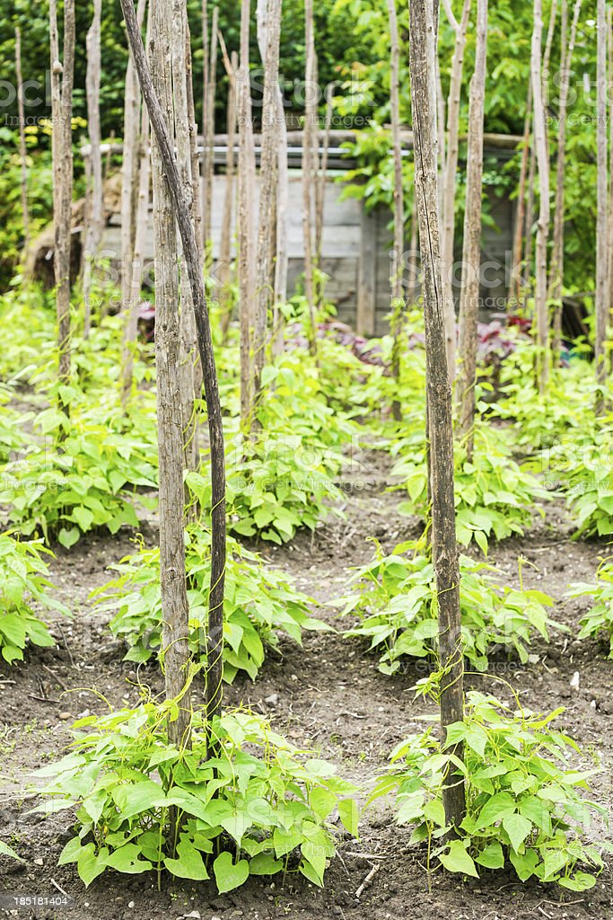 Bean Plants stock photo