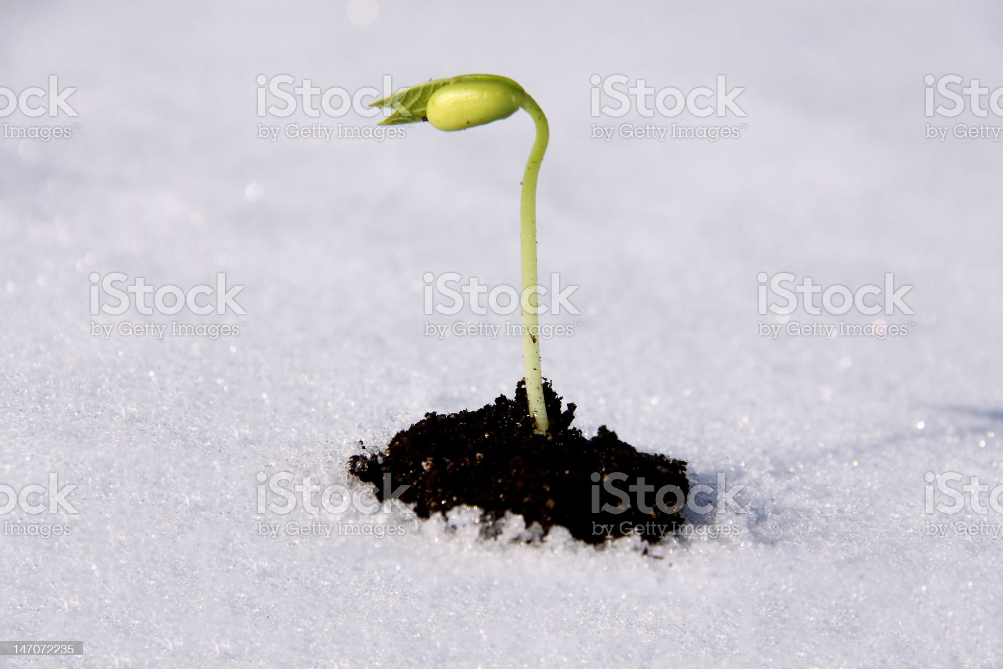 Bean Seedling growing up in dirt and snow royalty-free stock photo