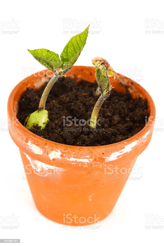 Bean Seedlings In A Clay Pot stock photo