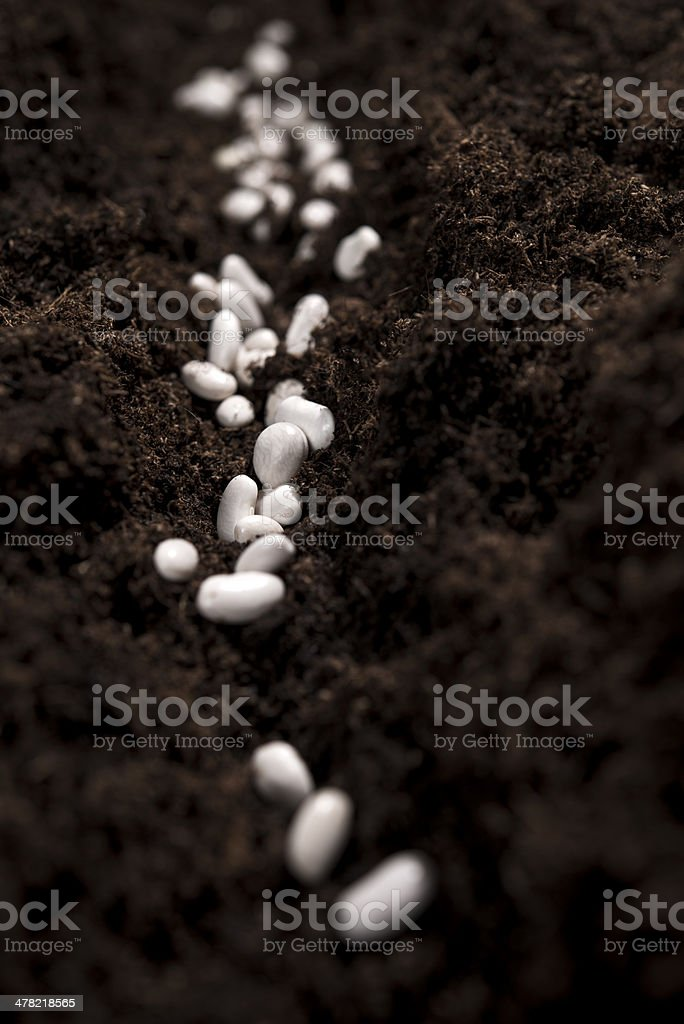 bean seeds in dirt royalty-free stock photo