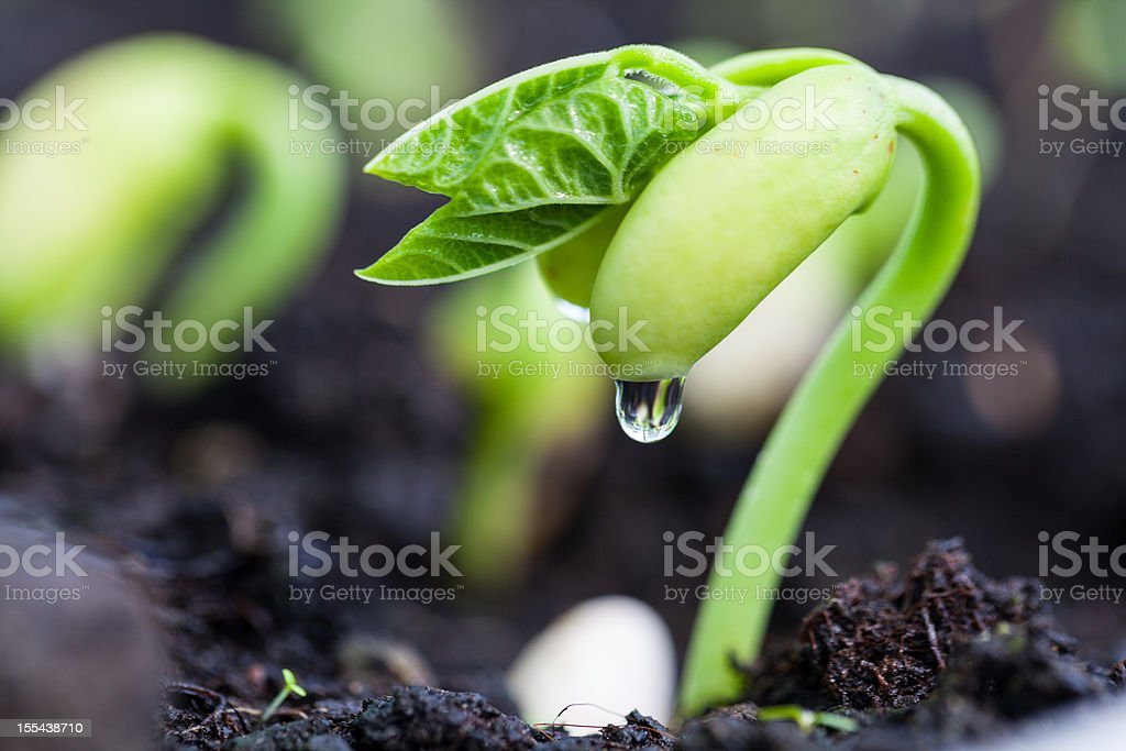 Bean sprout on an organic farm stock photo