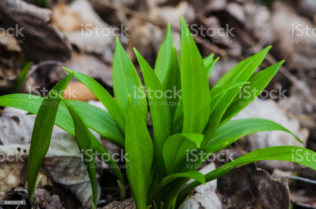 bear allium leaves stock photo