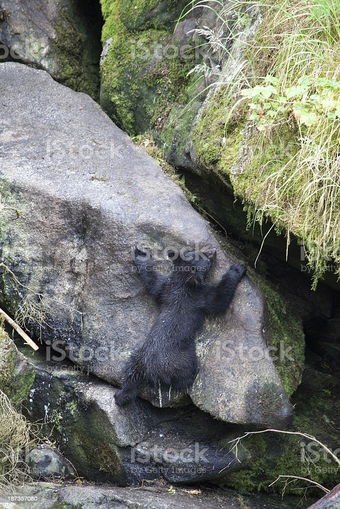 Bear Cub Climbing Rock in Alaska stock photo