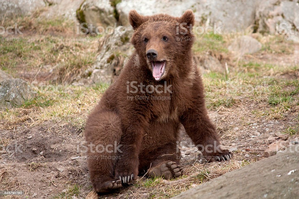 Bear cub stock photo