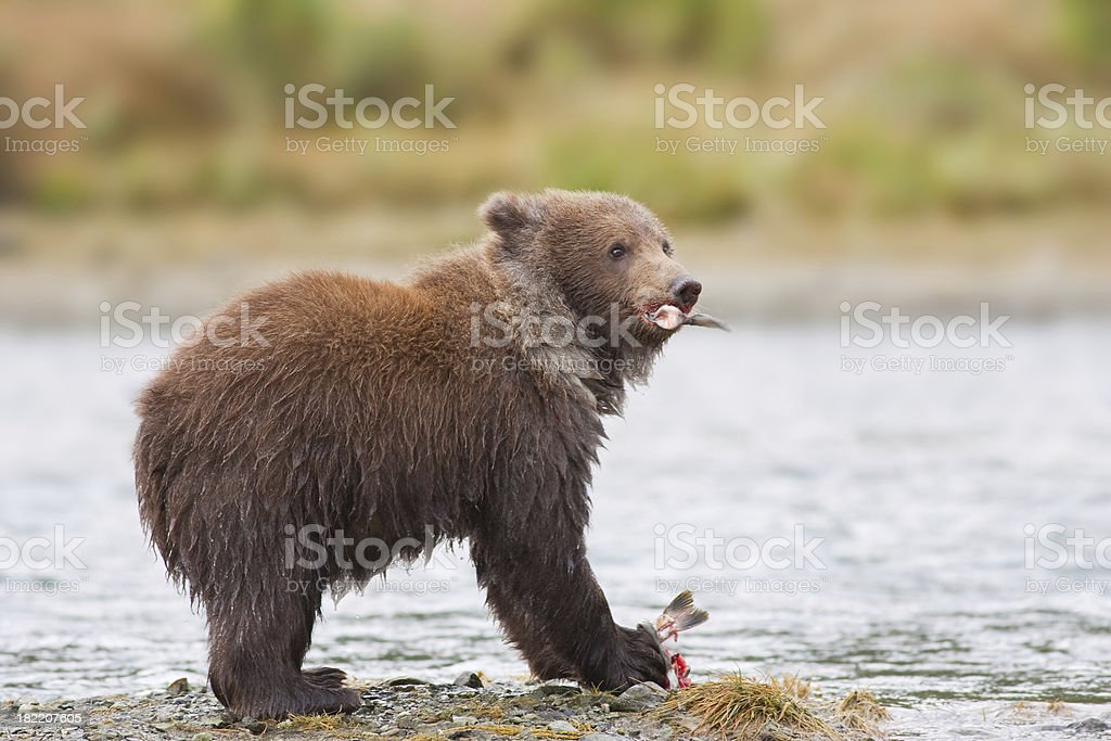 Bear Cub with Fish Dinner royalty-free stock photo
